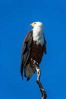 Bald eagle sitting on a dry tree
