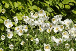 Grosses Windroeschen (Anemone sylvestris)