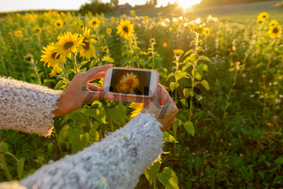 Hands of mature woman taking picture with phone at sunflower garden farm