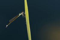 Hufeisen-Azurjungfer weiblich