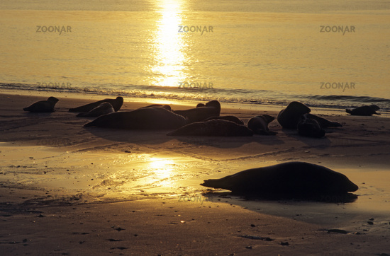 Grey Seals and Harbor Seals on the beach