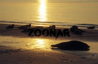Kegelrobben und Seehunde am Strand im abendlichen Sonnenlicht / Grey Seals and Harbor Seals on the beach in evening sunlight / Halichoerus grypus - Phoca vitulina
