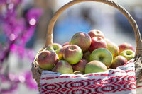 Wicker basket with apples on a blurred background. The concept of a rich harvest.