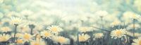 Daisy flower on wild field in sunset light panorama. Soft focus nature panoramic. Delicate pastel toned image. Greeting card template. Nature spring background. Copy space