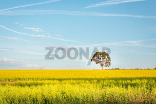 Canola fields landscape with pretty blue sky