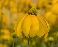 Yellow coneflower 'Rudbeckia fulgida var.'