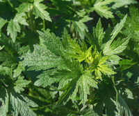 leaves of Motherwort (Leonorus cardiaca)