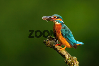 Colorful common kingfisher perched with fish in beak sunlit by morning sun