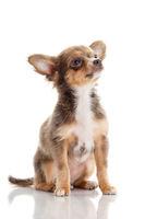 Chihuahua . Cute Chihuahua dog on a white backgrou