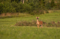 Young white-tailed deer standing on green meadow at sunrise and looking