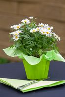 White daisies in a pot