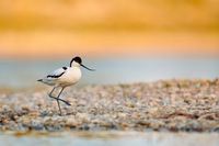 Pied avocet at Lake Neusiedl