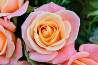 Beautiful fresh rose. Blooming pink bud. Spring flowering roses.