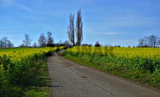 Senfsaat im Herbst, mit Feldkreuz zwischen zwei Pappeln am Ende des Weges