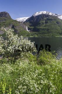 Apfelbluete, Lustrafjorden, Luster, Sogn og Fjordane