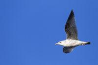 European Herring Gull immature bird in second winter plumage