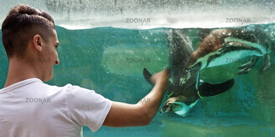 Young man playing with Humboldt penguins, (Spheniscus humboldti), zoo, Cologne, Germany, Europe