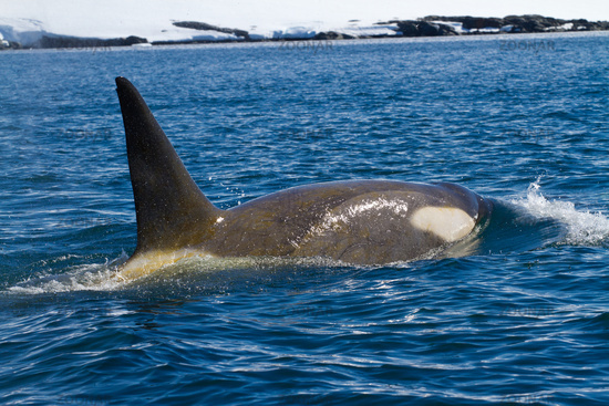male killer whales