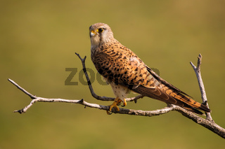 Alert common kestrel female sitting on a tree in sunny spring nature