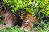 Lions rest after the hunt