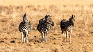 The three zebra musketeers