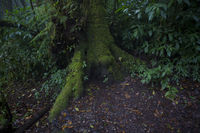 Roots of a tree in the rain forest