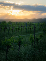 Sunset on a vineyard in Burgenland