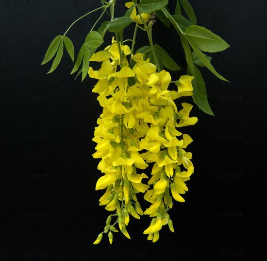 Laburnum or Golden Chain, genus Laburnum, germany, europe