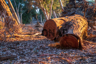 Cut Tree bark at Athalassa Lake, Cyprus bathed in warm afternoon light.