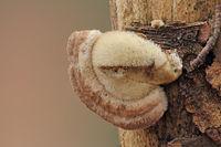 Hairy bracket (Trametes hirsuta)
