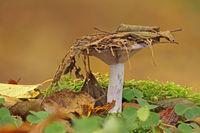 Wood blewit