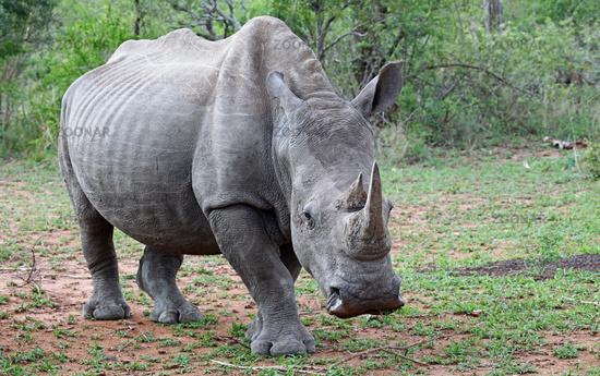 White rhinoceros in Kruger National Park, South Africa, white rhinoceros, Ceratotherium simum