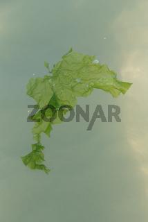 Seetang schwimmt an Meeresoberfläche - Nahaufnahme