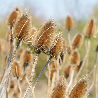 trockene Blütenstände der wilden Karde (Dipsacus fullonum)