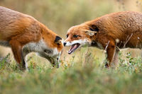 Two red fox fighting on meadow in autumn nature.