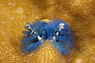 Bunter Spiralroehrenwurm, Papua Neuguinea