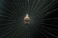 Debris orb weaver in a clean web, Cyclosa insulana, Satara, Maharashtra, India