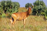 Jackson's hartebeest, Murchison Falls National Park Uganda (Alcelaphus buselaphus lelwel)