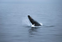 Humpback Whale, South Polar Sea