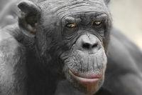 Bonobo Ludwig
