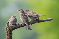 House Sparrow female feeds fledgling