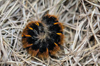 The caterpillar, larva of a blackberry moth, Macrothylacia rubi. It is a butterfly from the mother h