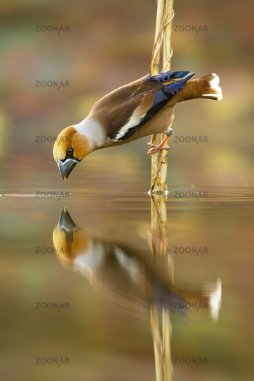 Male hawfinch bending down over water and drawing beak to drink water