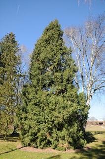 Juniperus chinensis Keteleeri, China-Wacholder