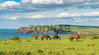 Horses at the Pembrokeshire coast, Wales, UK