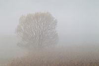 Weide im Morgennebel in einem Schilfguertel / Willow in early morning fog between reed / Oberlausitz  -  Sachsen