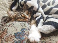 Cute striped kitten lying covered white light blanket on bed and sleeping . Concept of adorable pets