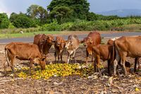 Ethiopian cattle eats mango at the dump, Ethiopia