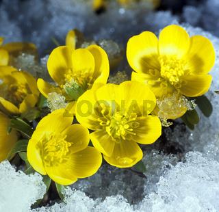Winterling, Eranthis hyemalis, Schnee