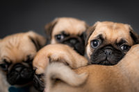 Pug puppies sitting in a box together